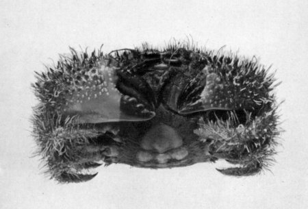 Pilumnus spinohirsutus, Mary J. Rathbun Scientific results of the expedition to the Gulf of California in charge of C.H. Townsend