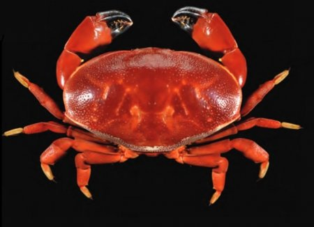 Atergatis dilatatus, Tan Heok Hui and Tohru Naruse New  rock  crab  records  (Crustacea:  Brachyura:  Xanthidae)  from  Christmas and Cocos (Keeling) Islands, Eastern Indian Ocean