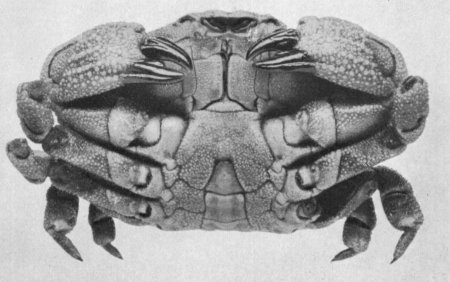 "Atergatopsis alcocki, C.R. Shoemaker Rathbun, M.J. (1923): Report on the crabs obtained by the F.I.S. ""Endeavour"" on the coasts of Queensland, New South Wales, Victoria, South Australia and Tasmania. Report on the Brachyrhyncha, Oxystomata and Dromiacea"