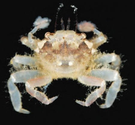 Lybia leptochelis, Tan Heok Hui and Tohru Naruse New  rock  crab  records  (Crustacea:  Brachyura:  Xanthidae)  from  Christmas and Cocos (Keeling) Islands, Eastern Indian Ocean