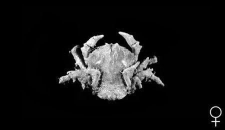 Cryptodromia amboinensis, Colin Mclay McLay, C.L. (1993) Crustacea Decapoda: the sponge crabs (Dromiidae) of New Caledonia and the Philippines with a review of the genera