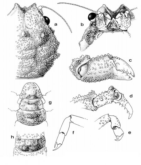 Epigodromia rotunda, Colin Mclay McLay, C.L. (1993) Crustacea Decapoda: the sponge crabs (Dromiidae) of New Caledonia and the Philippines with a review of the genera