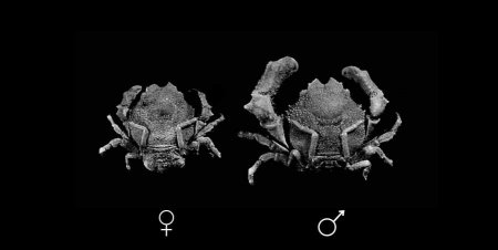 Petalomera pulchra, Colin Mclay McLay, C.L. (1993) Crustacea Decapoda: the sponge crabs (Dromiidae) of New Caledonia and the Philippines with a review of the genera