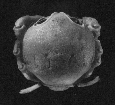 Sphaerodromia brizops, Denis Serette McLay, C.L. and A. Crosnier (1991) Description of a new and unusual species of Sphaerodromia (Brachyura, Dromiidae) from the Seychelles Islands