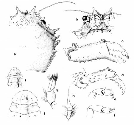 Takedromia longispina, Colin Mclay McLay, C.L. (1993) Crustacea Decapoda: the sponge crabs (Dromiidae) of New Caledonia and the Philippines with a review of the genera