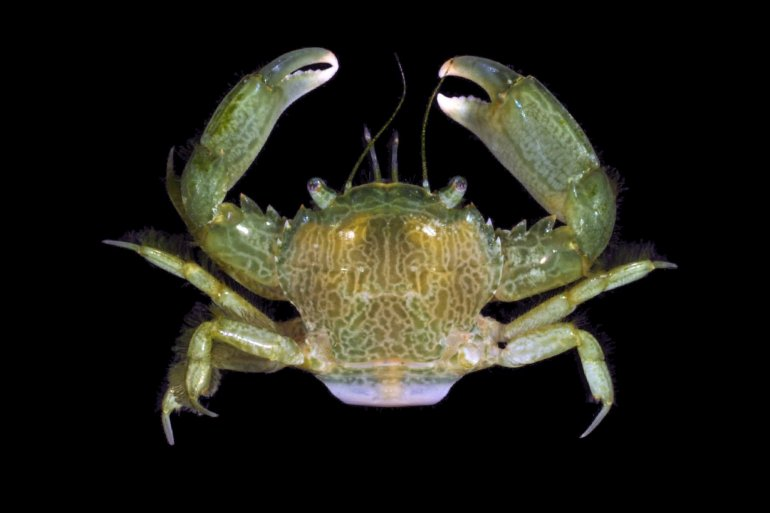 Trierarchus rotundifrons, Nathaniel Evans From Molecular phylogenetics of swimming crabs (Portunoidea Rafinesque, 1815)