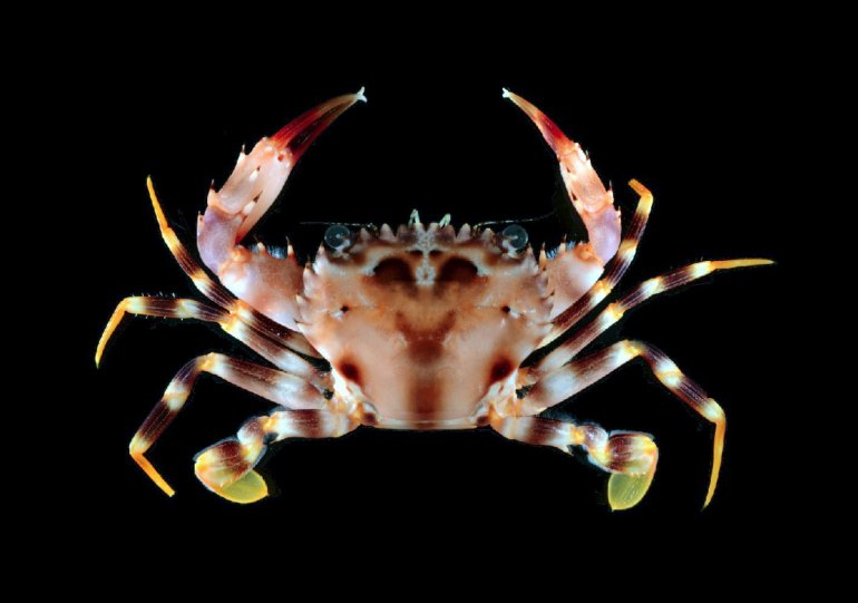 Gonioinfradens paucidentatus, Gustav Paulay From Molecular phylogenetics of swimming crabs (Portunoidea Rafinesque, 1815)