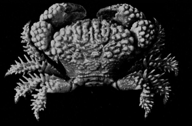 "Actaea peronii, G.C. Clutton Rathbun, M.J. (1923) Report on the crabs obtained by the F.I.S. ""Endeavour"" on the coasts of Queensland, New South Wales, Victoria, South Australia and Tasmania. Report on the Brachyrhyncha, Oxystomata and Dromiacea"