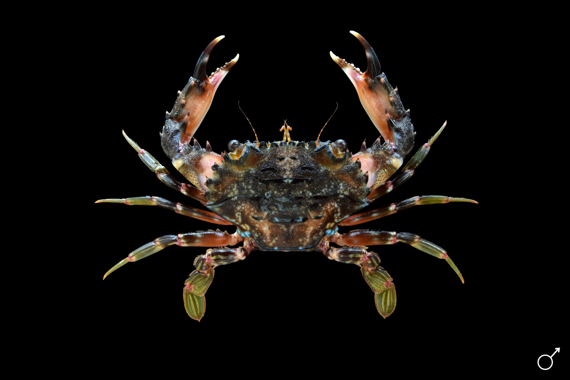 crabs of the genus scylla Among the crustacean candidate species for aquaculture, mud crabs of the genus scylla are gaining importance as alternative to tiger shrimp especially in the asian scenario, in the context of consecutive white spot disease outbreaks rendering shrimp culture, a risky affair.