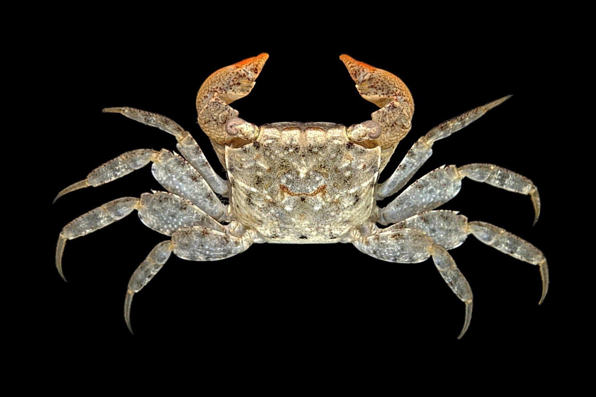 Crab Database  U00b7 Crabs  U00b7 Species Parasesarma Plicatum